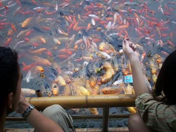 the pool with the gold fishes
